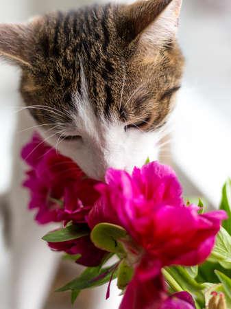 Cat sits on a windowsill near bouquet of pink peonies, funny animal Foto de archivo