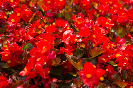 Summer flowers Impatiens walleriana. The beauty and colors of the busy lizzie. Natural red background
