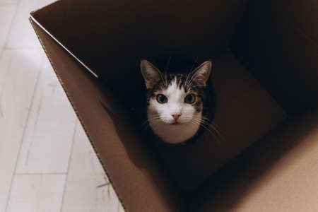 European cat in a delivery box. The concept of buying a new home or relocation. Pet sitting in a cardboard box. Looking cat in removal box, top view