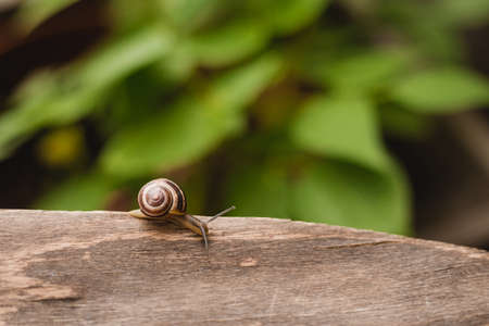 Helix pomatia on wooden background, Garden small Snail animal life in nature. Selective focus.