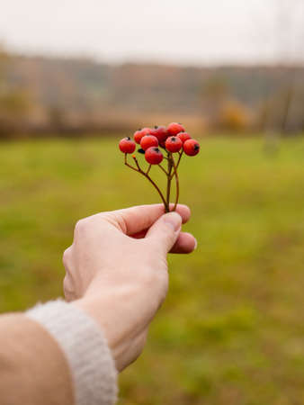 Red autumn viburnum in hands.