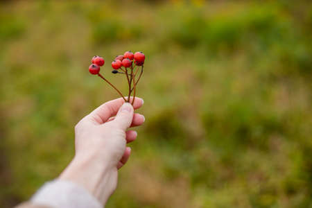 Red autumn viburnum in hands. Copy space.