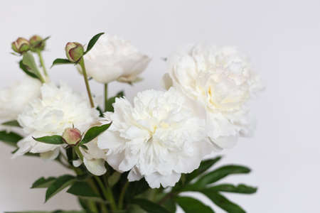 Fresh bright blooming peonies flowers. Wedding still life scene. Romantic banner, delicate white peonies flowers close-up. Fragrant pink petals Banco de Imagens