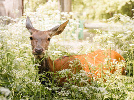 Roe deer standing in the thicket in summer day.