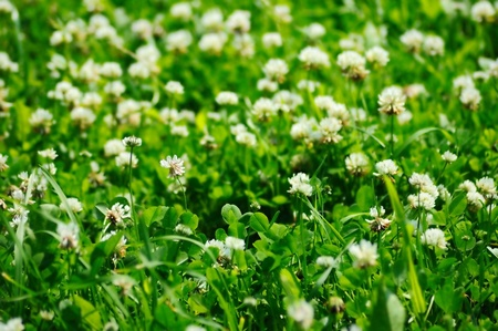 Field of white clovers, background