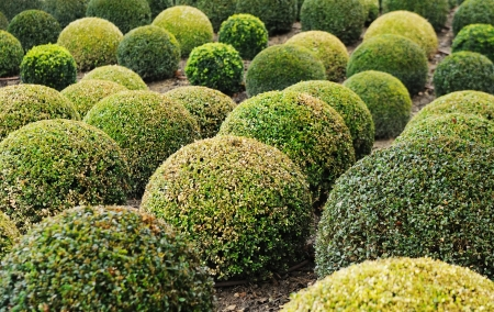 hedges: Boxwood Stock Photo