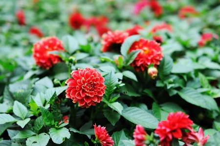 Detail of red chrysanthemum bush as floral background  Stock Photo - 12978702