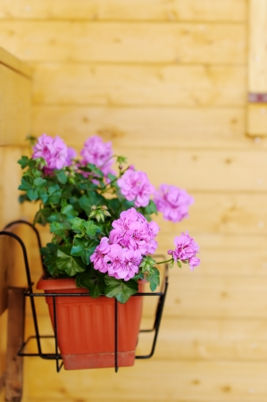 Flowerpot with lilac flowers outdoor photo