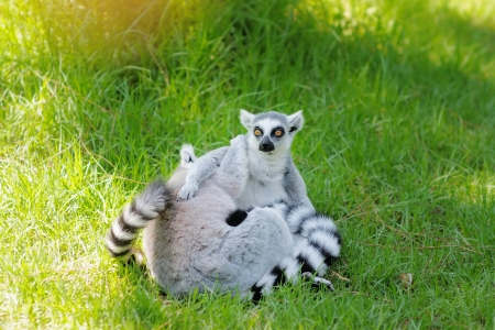 Two funny lemurs embracing outdoors Stock Photo - 18937357