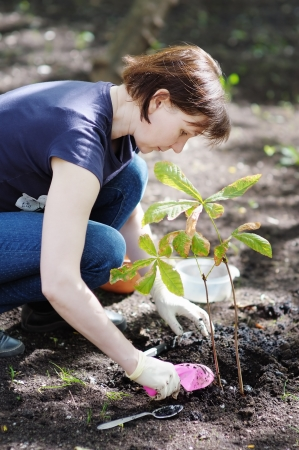Woman planting young seedling  chestnut , focus on woman photo