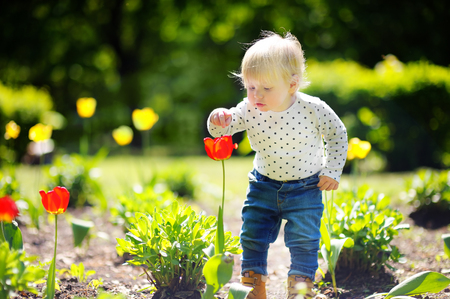 Toddler smelling red tulip in the garden at the spring or summer day
