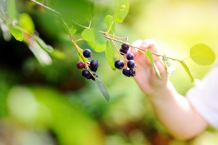 domestic garden: Close up photo of toddler child picking black currants in domestic garden