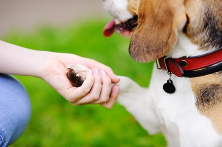 obedient: Young woman with Beagle dog in the summer park. Obedient pet with his owner practicing paw command