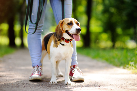 obedient: Young woman walking with Beagle dog in the summer park. Obedient pet with his owner