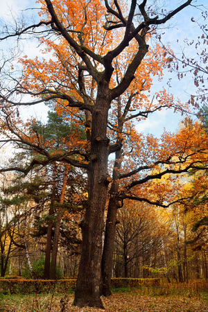 Tranquil autumn scenery showing a magnificent oak tree with colorful leaves in a park