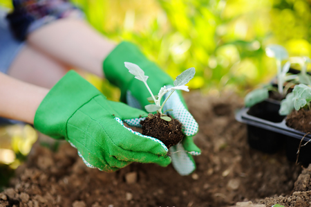 Woman planting seedlings in bed in the garden at summer sunny day. Gardener hands with young plant. Garden tools, gloves and sprouts close-up