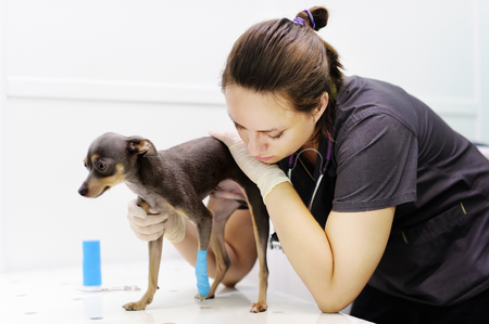 Female veterinarian doctor during the examination in veterinary clinic. Little dog terrier with broken leg in veterinary clinic