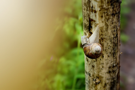 Big garden snail in nature. Snail gliding on the wet wooden texture. Helix pomatia, Roman snail, Burgundy snail, edible snail or escargot.?lose-up photo with blurred yellow background. Stock Photo