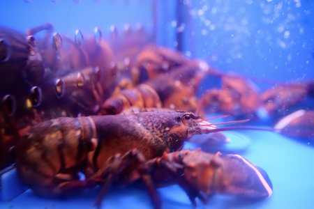 Live colourful lobster in aquarium. Sea foods.