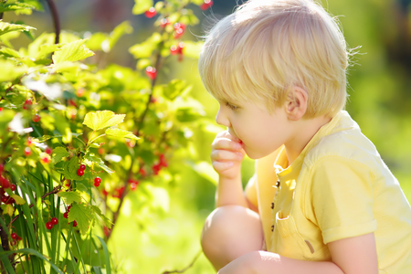 Little boy picking red currants in a domestic garden on sunny day. Outdoors activities and fun for children in summer. Mommys helper