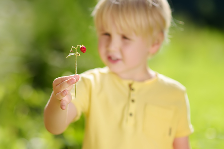 Little child picking sweet wild strawberry in domestic garden. Summer outdoors activity for kids