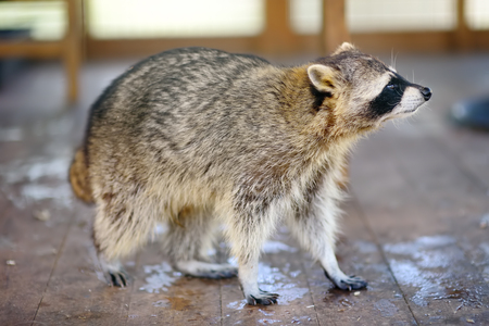 Raccoon in a cage of petting zoo