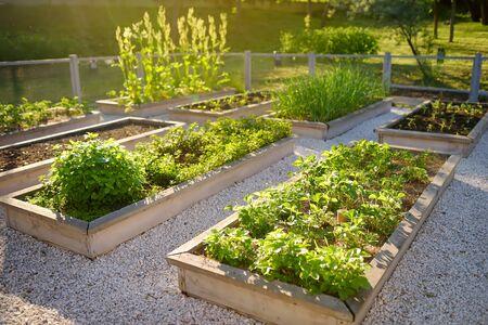 Community kitchen garden. Raised garden beds with plants in vegetable community garden. Lessons of gardening for kids.