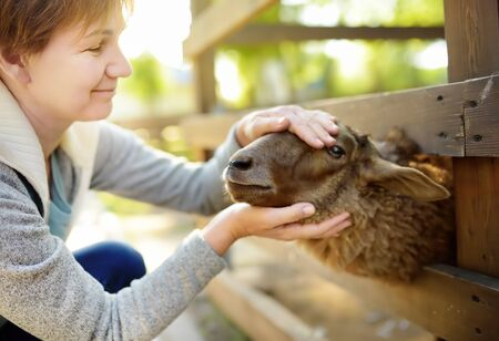 Mature woman petting sheep. People in petting zoo. Person having fun in farm with animals. Fun for urban citizen.