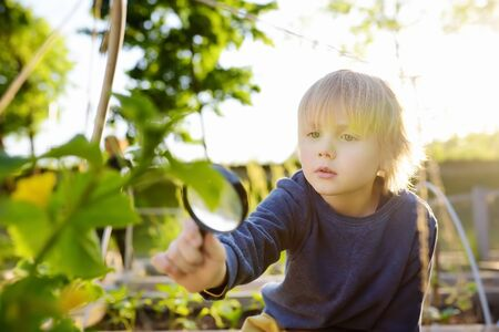 Little child exploring nature with magnifying glass in community kitchen garden . Close up. Little boy looking with magnifying glass on leafs of cucumber. Summer activity for inquisitive child