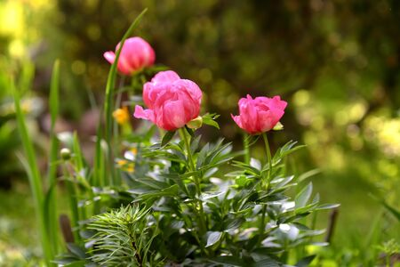 Beautiful fresh pink flowers peonies in the garden. Gardening services. Imagens - 124979278