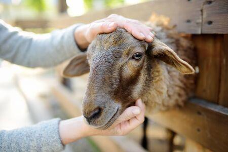 Woman petting sheep. People in petting zoo. Person having fun in farm with animals. Fun for urban citizen. Banco de Imagens