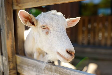 Outdoors petting zoo.Goat in wooden corral. Fun for kids on school holidays.