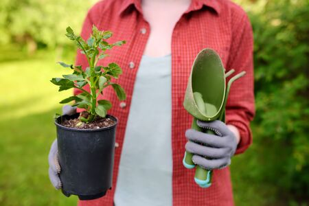 Young woman holding gardening tools and seedling in plastic pots on the domestic garden at summer sunny day. Gardening and farming.