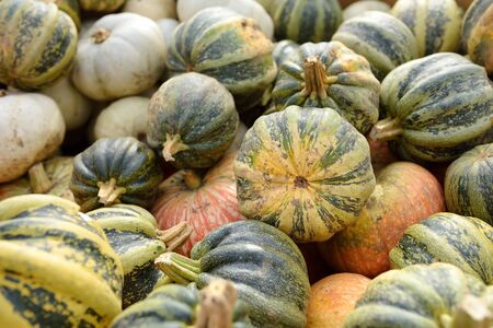 Fresh healthy bio pumpkins on farmer agricultural market at autumn. Healthy food. Pumpkin is traditional vegetable used on American holidays - Halloween and Thanksgiving Day.