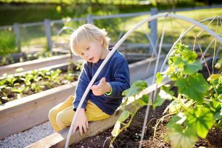 Little child is in community kitchen garden. Raised garden beds with plants in vegetable community garden. Lessons of gardening for kids. Banco de Imagens