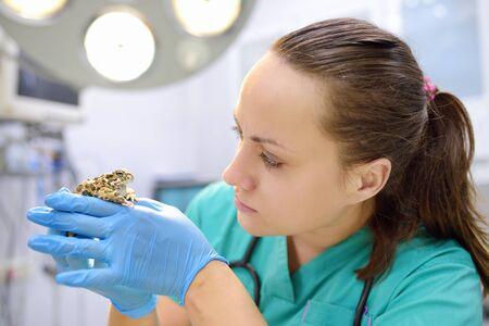 Tierarzt untersucht eine Kröte in einer Tierklinik. Exotische Tiere. Gesundheit des Haustieres. Standard-Bild