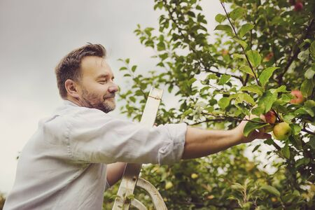 Toned shot of mature man picking apples in orchard. Person stands on a ladder near tree and reaching for an apple. Harvesting in the domestic garden in autumn.