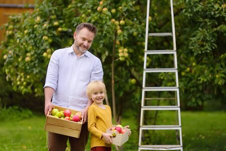 Little boy with his father picking apples in orchard. Child and dad holding wooden boxes with harvest. Harvesting in the domestic garden in autumn.