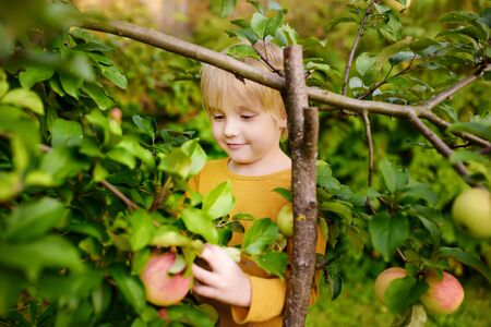 Little boy picking apples from tree in orchard. Harvesting in the domestic garden.