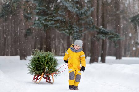 Little boy carries a Christmas tree on a sled to take it home from winter forest. Christmas holidays.