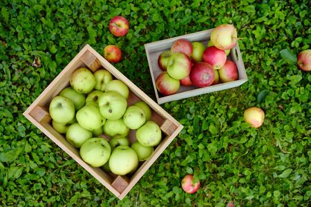 Top view of two wooden boxes full of green and red freshly picked apples standing on the grass in orchard. Harvesting in the domestic garden in autumn.