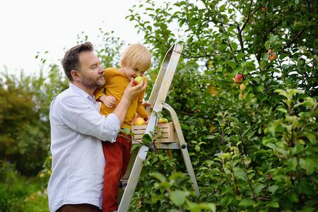 Little boy with his father picking apples in orchard. Child stands on a ladder and sniffs an apple. Harvesting in the domestic garden in autumn. 版權商用圖片