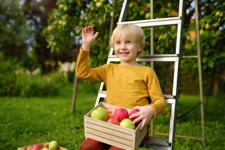 Little boy picking apples in orchard. Child holding wooden box with harvest. Harvesting in the domestic garden in autumn.