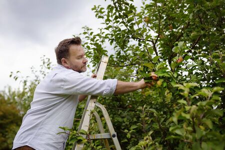 Mature man picking apples in orchard. Person stands on a ladder near tree and reaching for an apple. Harvesting in the domestic garden in autumn. 版權商用圖片