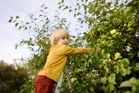Little boy picking apples in orchard. Child stands on a ladder near tree and reaching for an apple. Harvesting in the domestic garden in autumn.