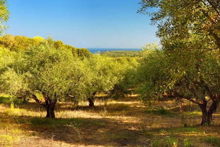 Fine olive trees in sunny summer day in Greece, west Peloponnese, Kyllini. A place where delicious olives are traditionally grown. 写真素材