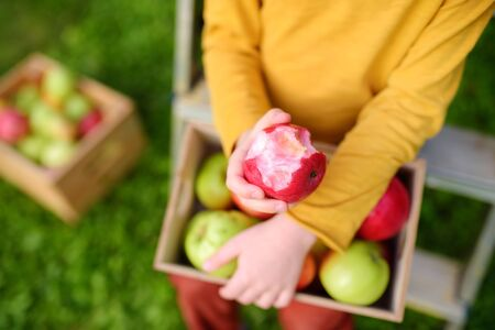 Little boy picking harvest of apples in orchard. Child holding wooden box with harvest and eating red ripe apple. Harvesting in the domestic garden in autumn. 版權商用圖片