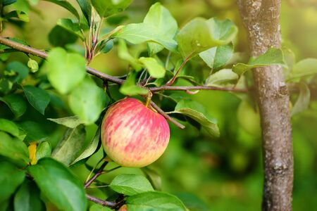 Red ripe apple on the branch in orchard. Harvesting in the domestic garden in summer or autumn day.