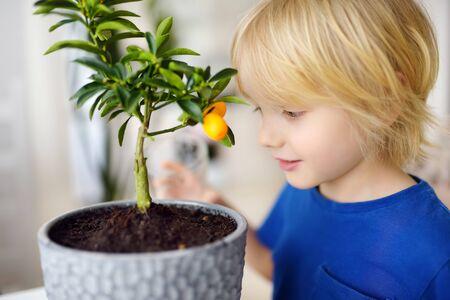 Preschooler boy transplanting a houseplant calamondin into new big flowerpot. Fortunella. Home gardening. Little helper by chores.