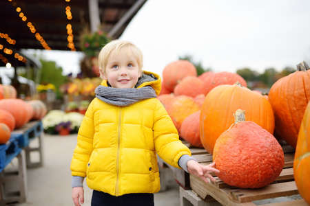 Little boy choose right pumpkin on a farm at autumn. Preschooler child look at orange decorative pumpkin. Pumpkins is traditional vegetable used during American holidays - Halloween and Thanksgiving Day.